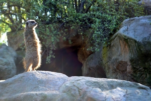 The zoo. Where Meerkats stand with pride.