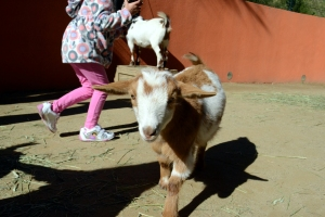 And where this little guy almost convinced me that goats are not entirely evil. Almost.